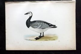 Morris 1870 Antique Bird Print. Bernicle Goose
